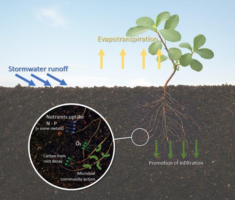La diapositive explique le rôle des racines des plantes dans la terre pour l'absorptions de l'eau dans la terre